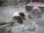 En panda som har det roligt
